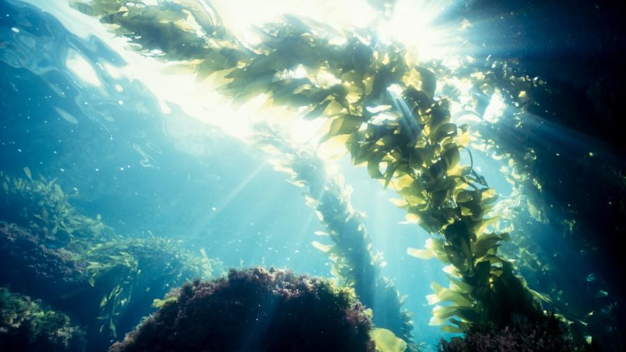 Токсични за хората водорасли се оказаха опасни и за рибите