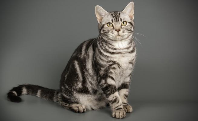 Американската късокосместа котка