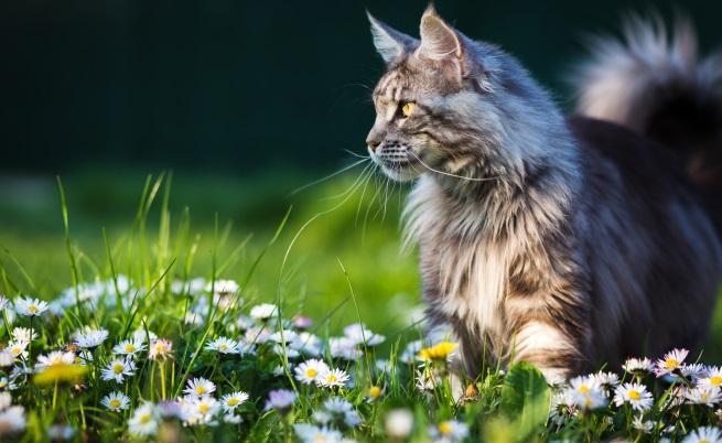 Котка от породата Мейн Куун