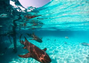 Естествен GPS: акулите се ориентират по магнитното поле на Земята