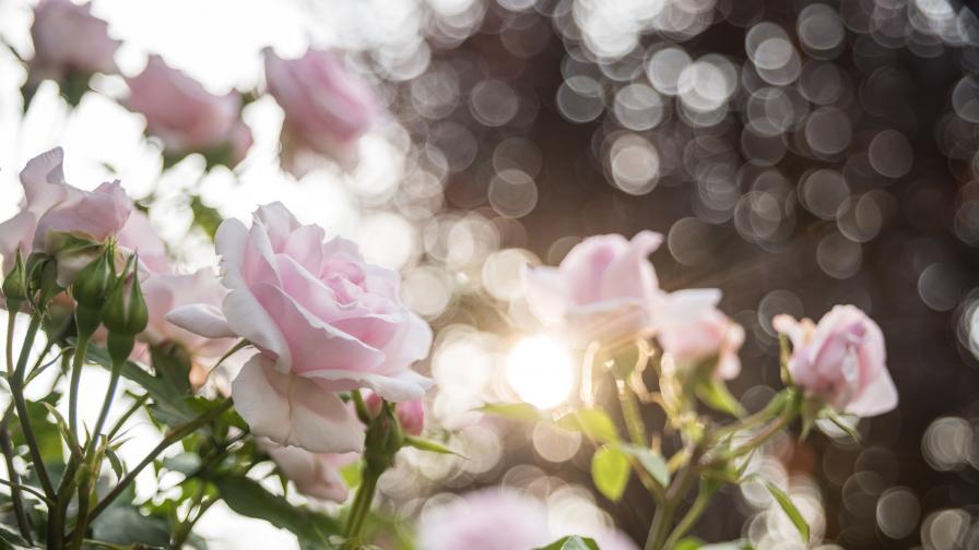 Каква е символиката на различните цветове рози