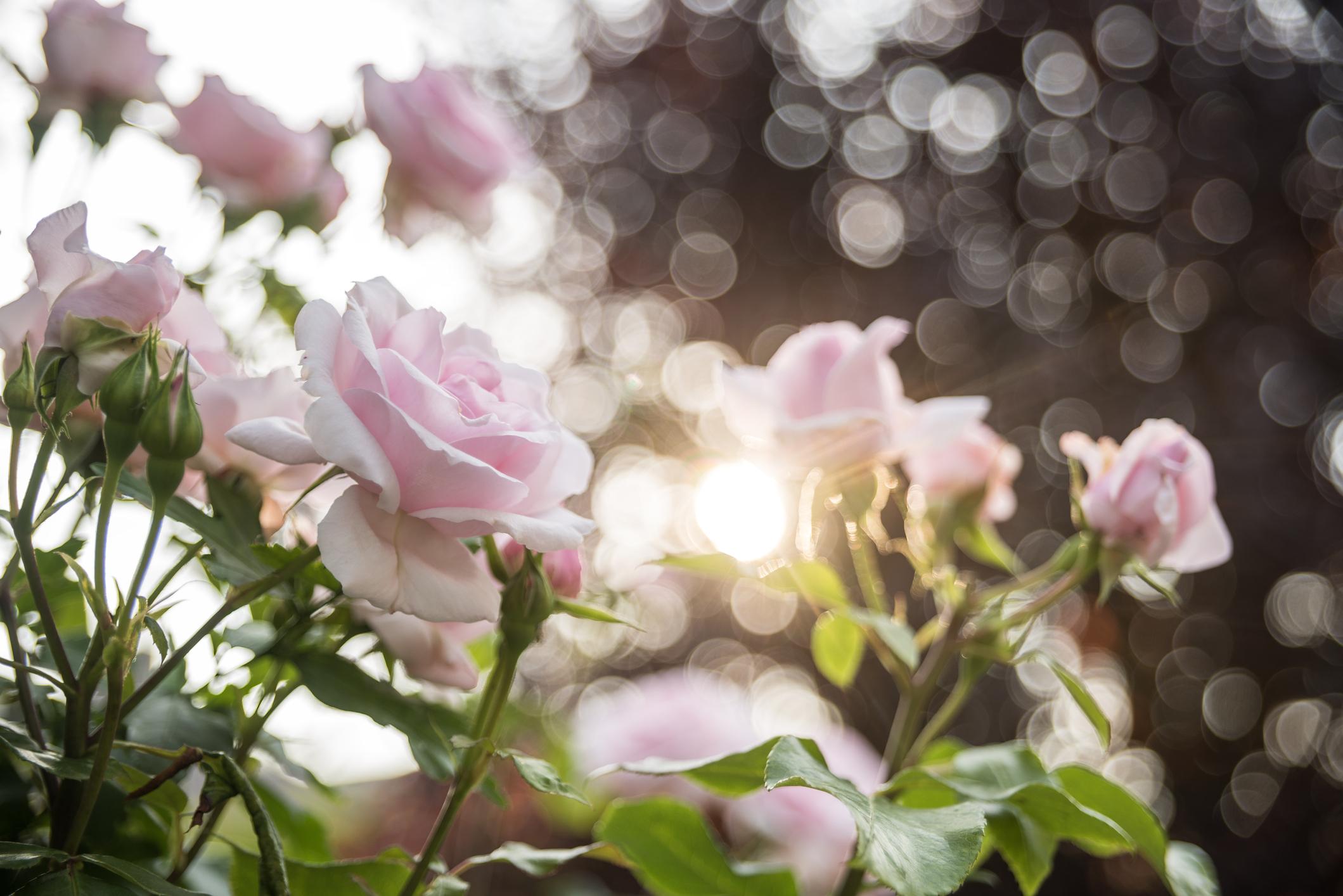 <p>Розова роза -&nbsp; това красиво цвете носи послание за благодат у себе си.</p>