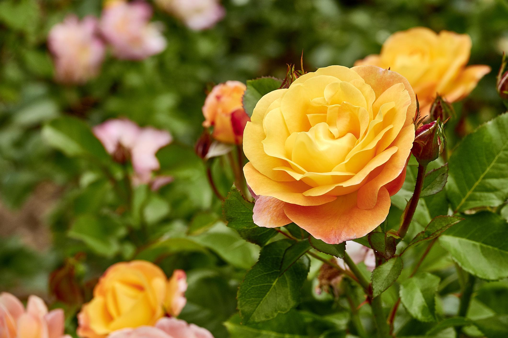 <p>Оранжева роза - този енергичен цвят означава &quot;чар и пленителност&quot;.</p>