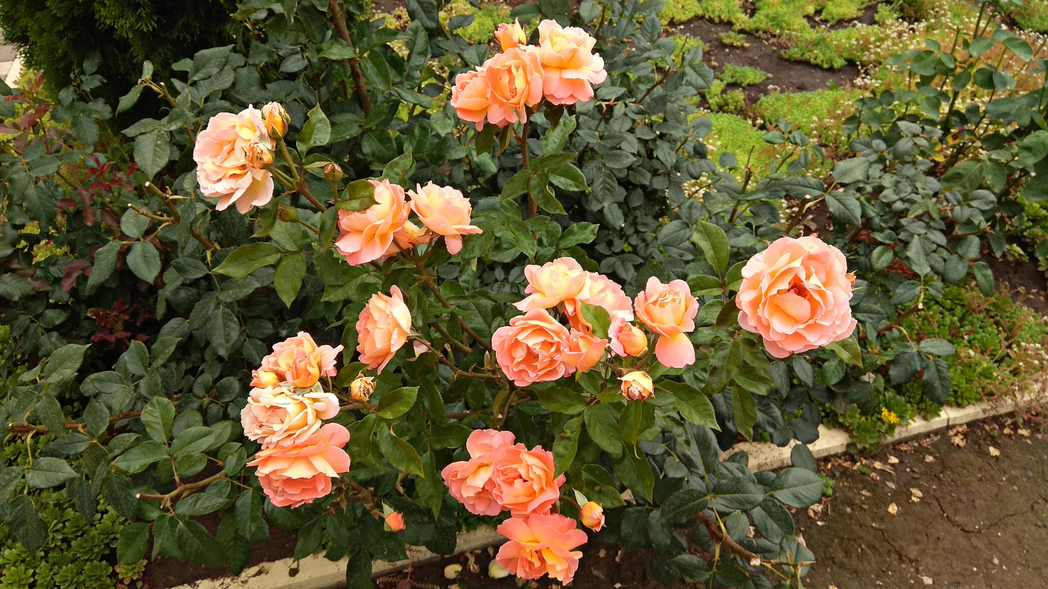 <p>Роза с цвят праскова - Тя означава &quot;скромност&quot;.</p>