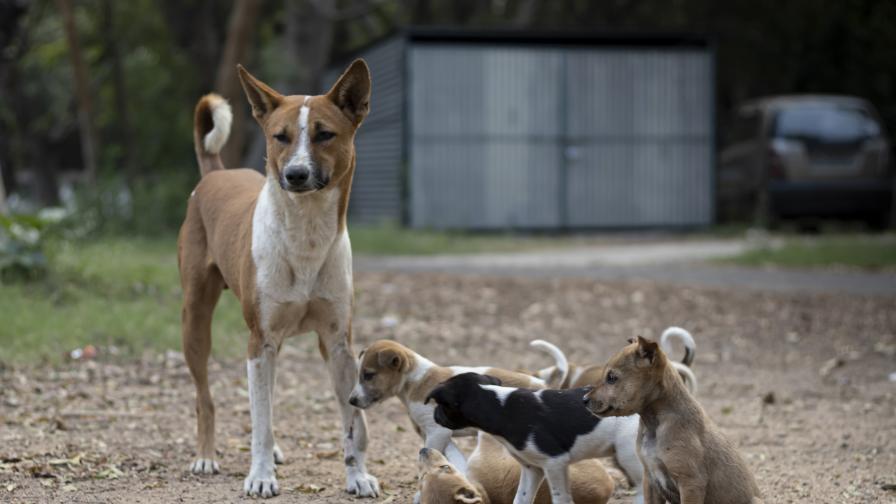 Ужас в Мездра, бездомни кучета нахапаха жена