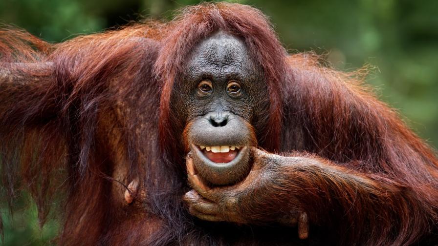 Борнейски орангутан