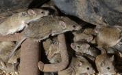 Евакуират стотици затворници в Австралия заради нашествие на мишки