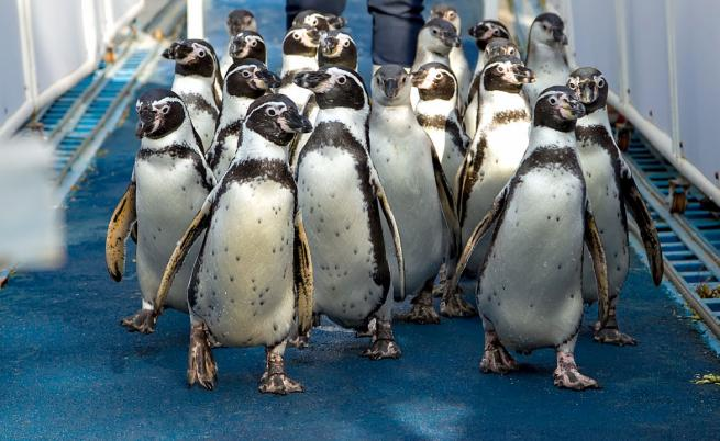 Пингвин с артрит получи ортопедични ботушки
