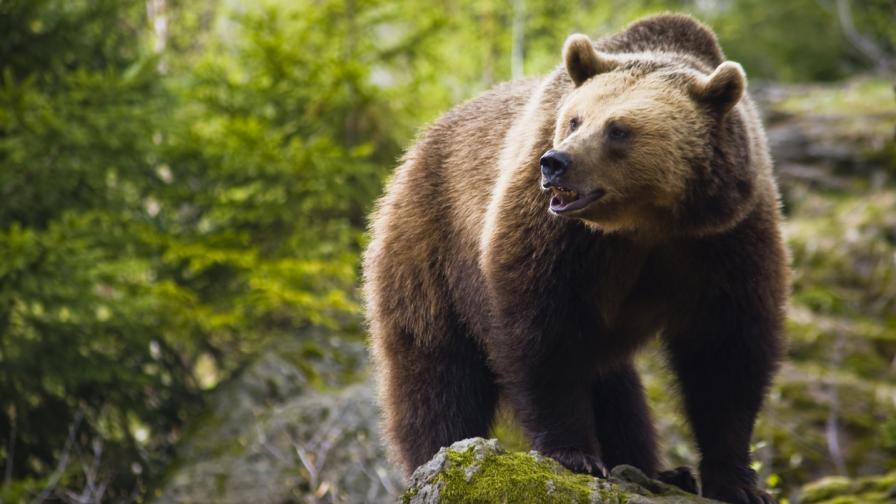 Мечка нападна жена до парка за танцуващи мечки в Белица