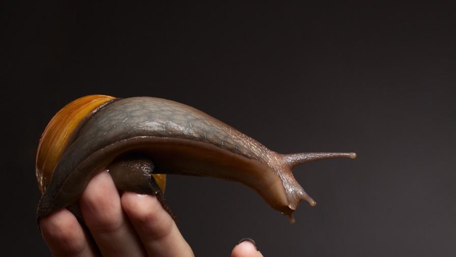 Какво трябва да знаем преди да си вземем гигантски африкански охлюв
