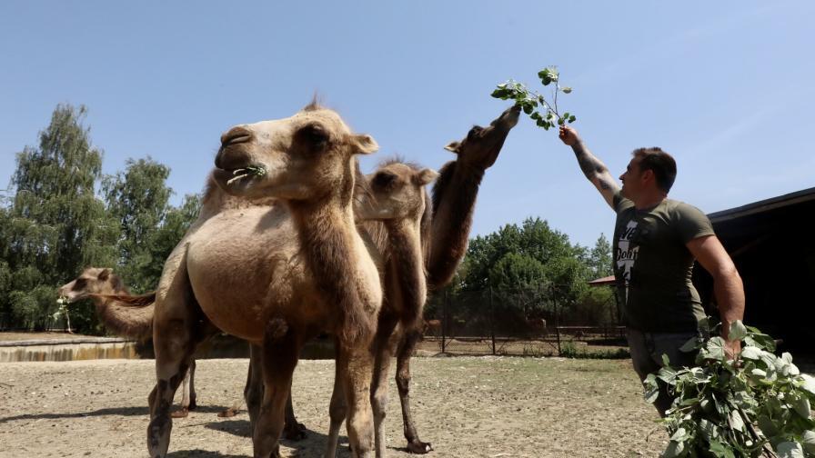 Четири нови двугърби камили в столичния...