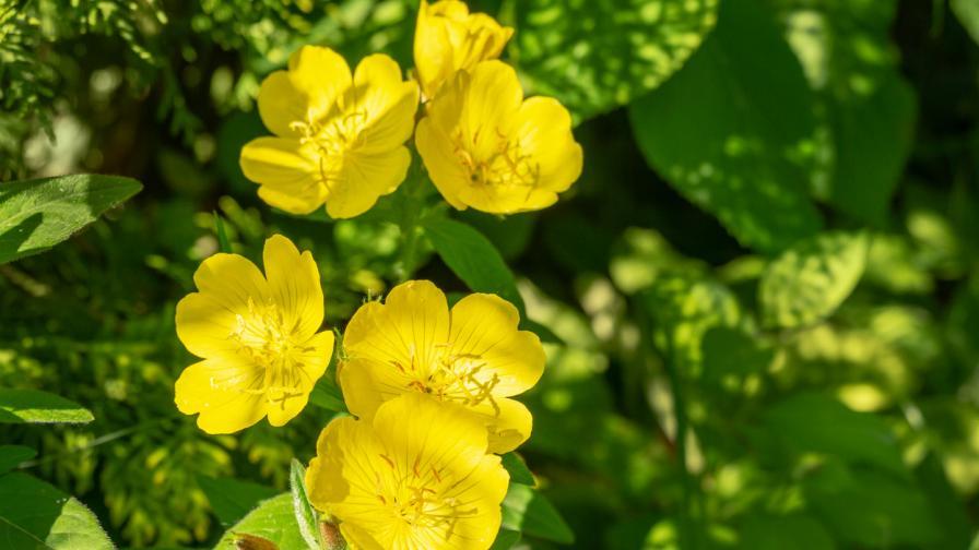 Вечерна иглика – растението, което се грижи за хормоните