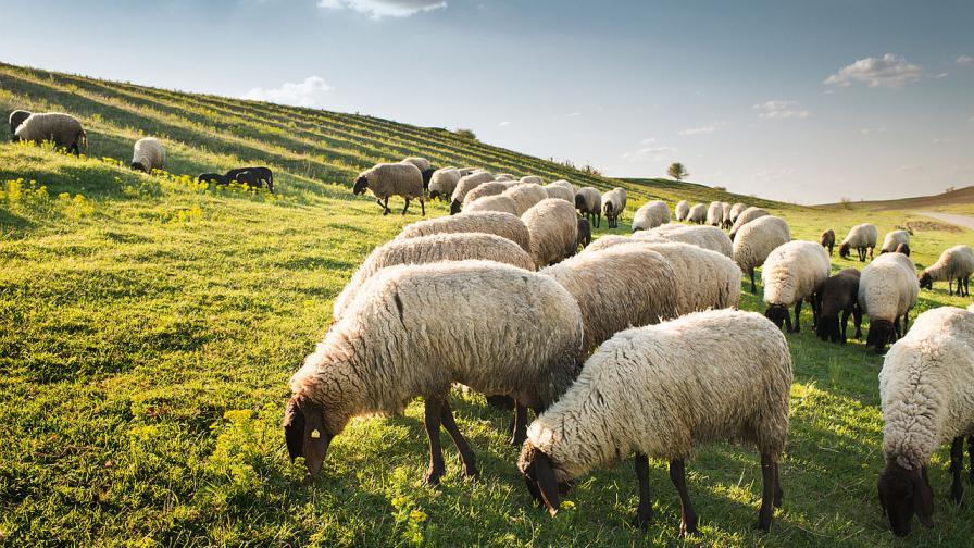 Нов европейски регламент заплашва българското животновъдство
