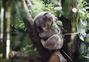 Броят на коалите в Австралия намалява