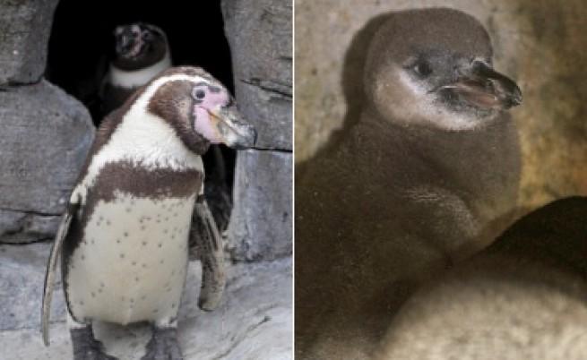 Пингвини гейове измътиха бебе