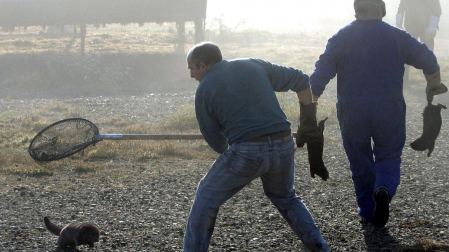 Ловене на норки при подобен случай в Испания.
