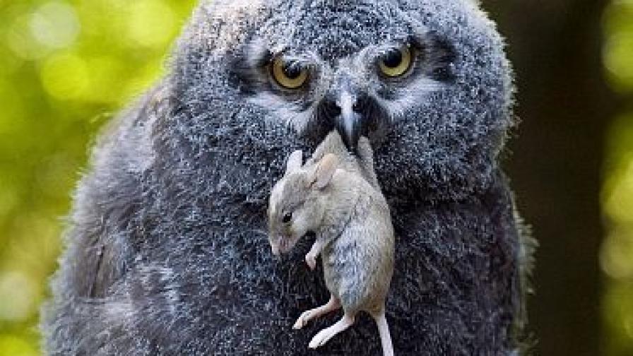 Не само совите похапват плъхове.