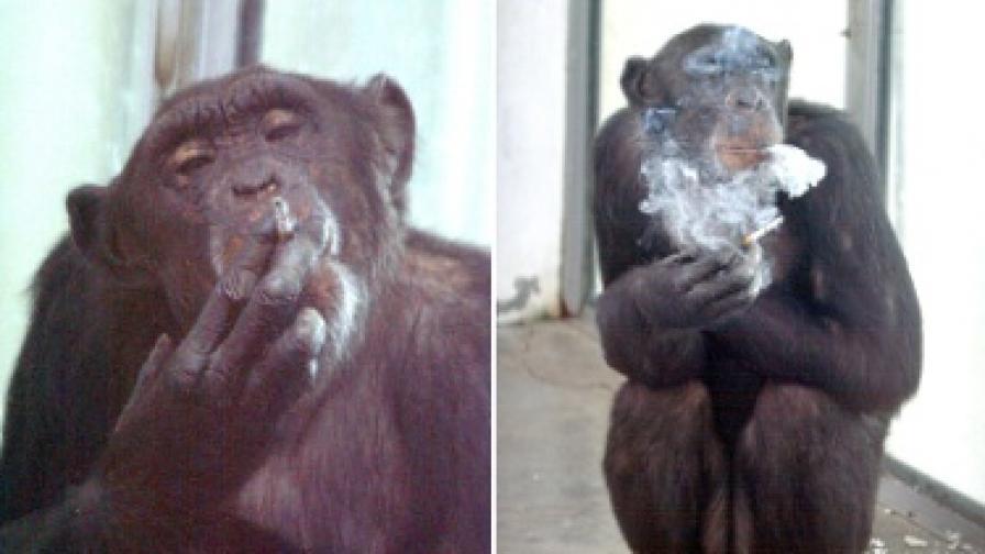 Маймуна алкохолик отива в клиника