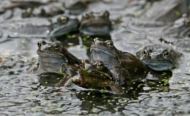 Чифтосващи се жаби предсказват земетресения