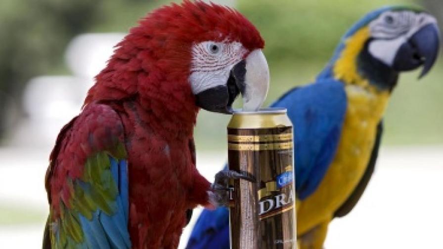 Пияни папагали падат от дърветата в Австралия