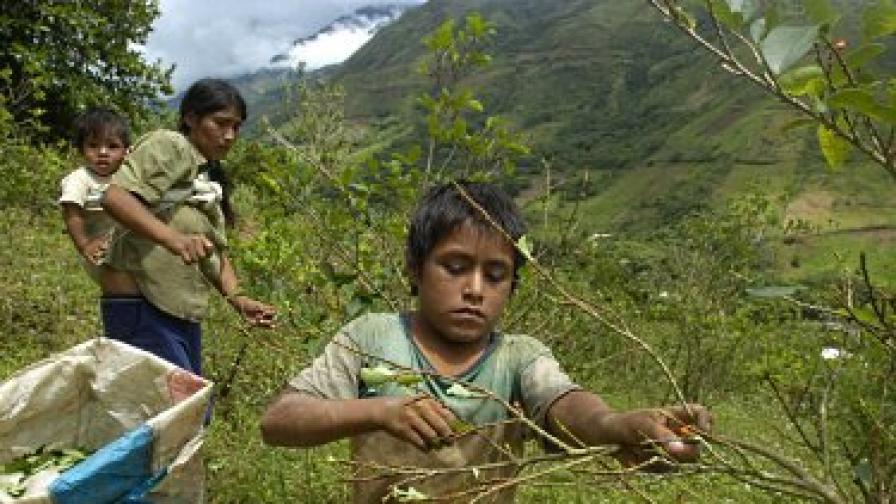 Събиране на реколтата в Перу