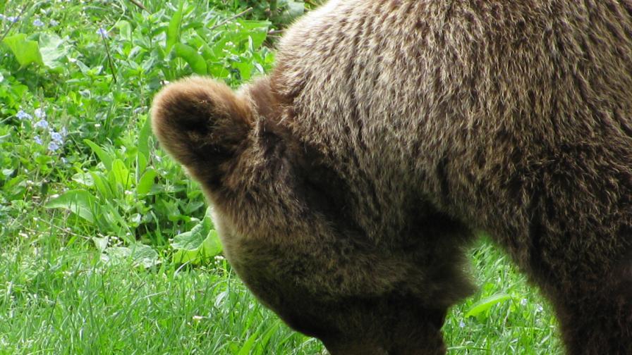 Убиха мечката, нападнала жената край Малка Арда