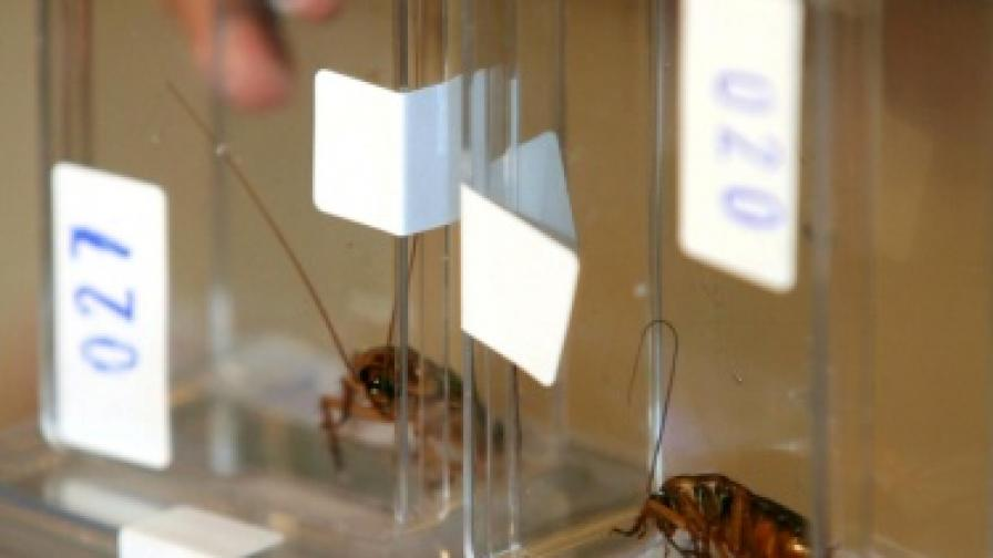 Хлебарките - устойчиви, досадни и опасни