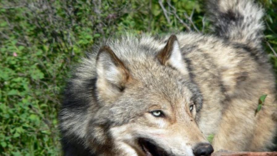 Да живееш с вълци