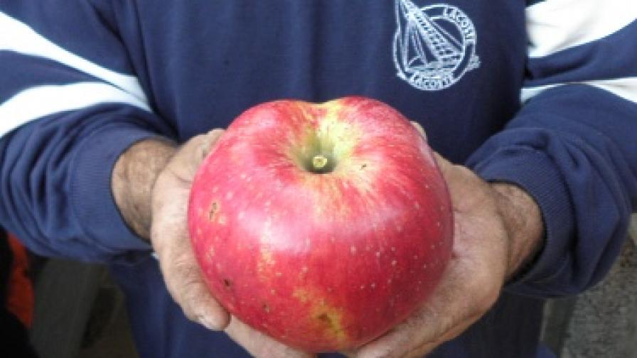 Ябълката-рекордьор е родом от с. Логодаж, Благоевградско