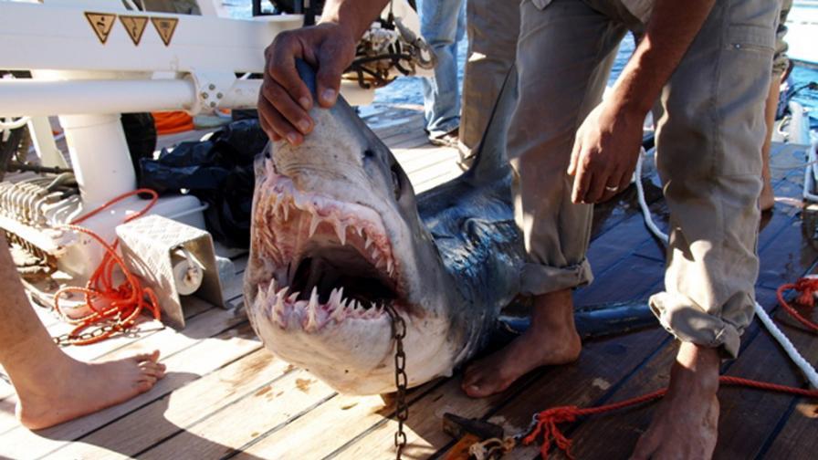 Конспирация с акули в Червено море?