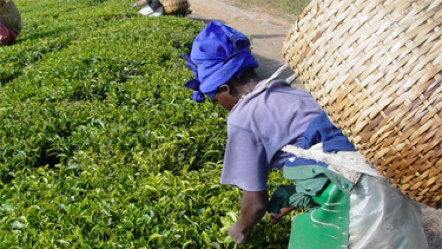 Бране на чай, Танзания