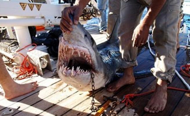 Историята със сърбина, убил акула, обикаля света