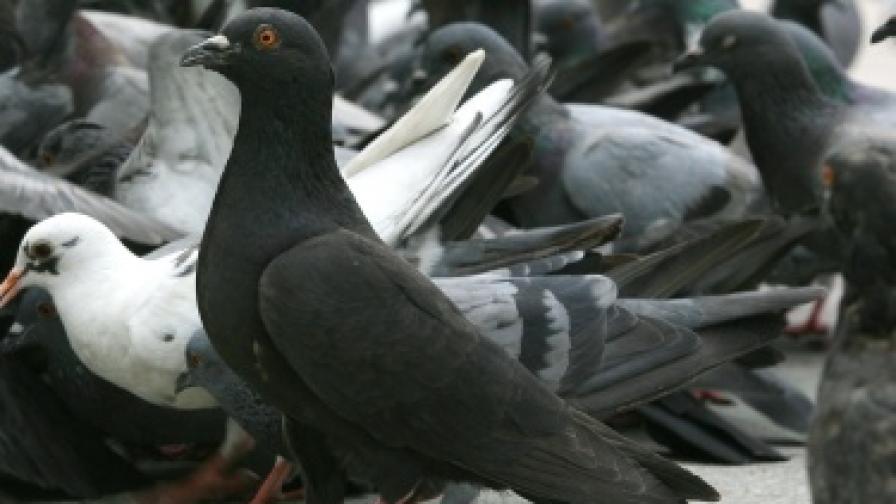 Гълъбите като наркотрафиканти