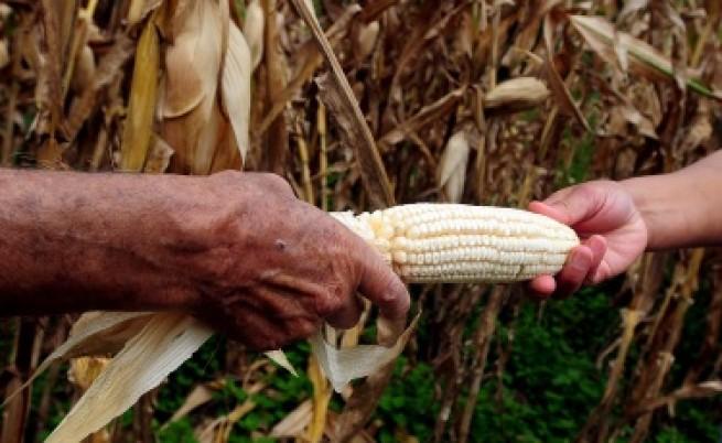 Забраниха генно модифицирана царевица