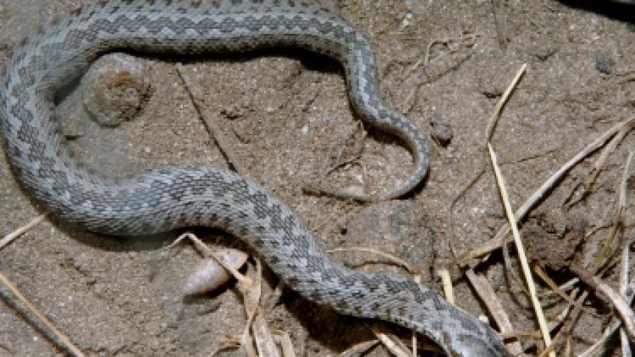 Много ли са отровните змии у нас