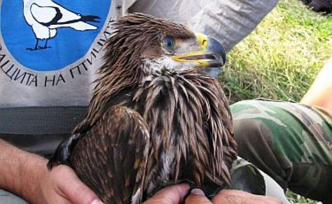 Отрова, поставена от гълъбари, уби последния маркиран царски орел у нас