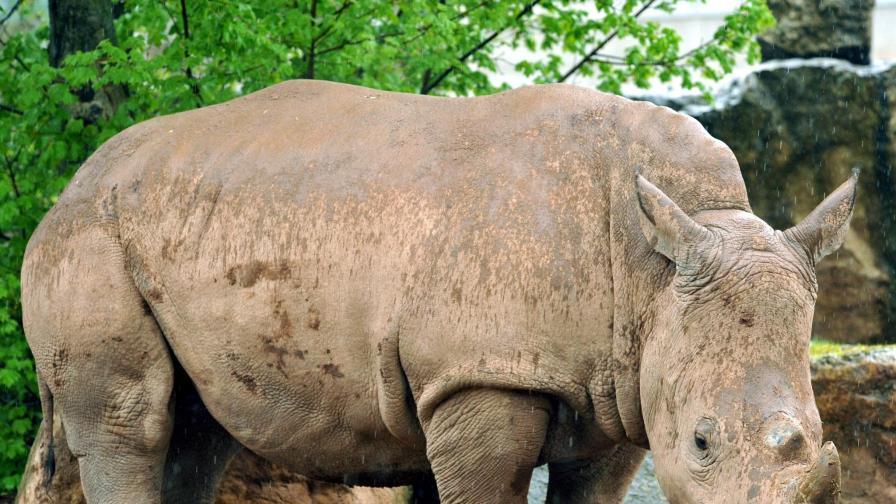 Сравняват носорог художник с Пикасо