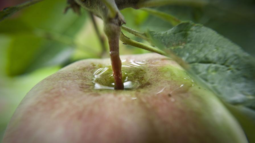 Една ябълка дневно по време на бременност