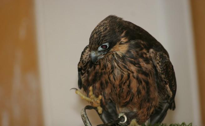 Арестуваха търговец на защитени птици в