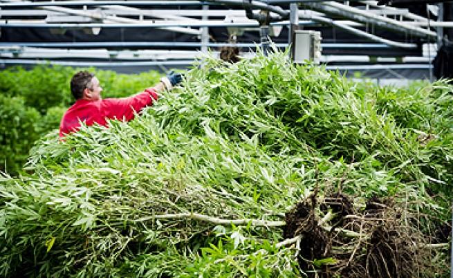 Арестуваха българи в плантация за марихуана в Холандия