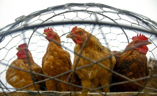 Птичият грип се завръщал, България също била на пътя му