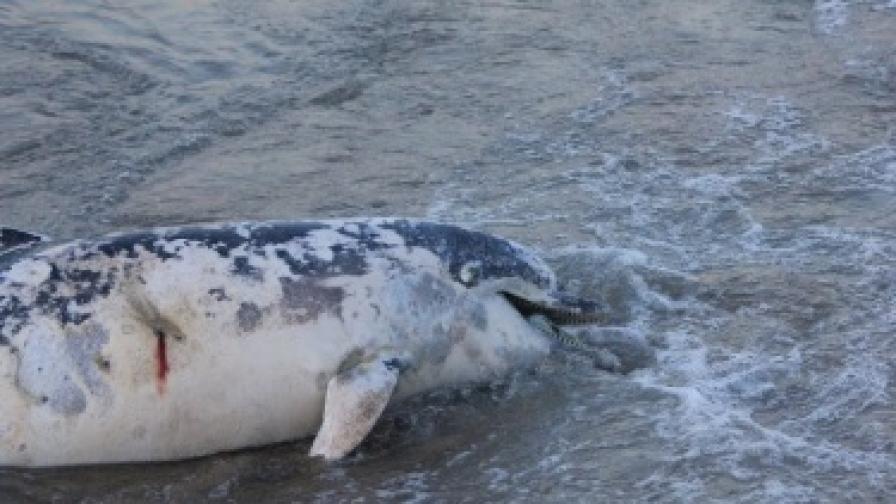 """Делфинът край Лозенец """"умрял от удавяне"""""""
