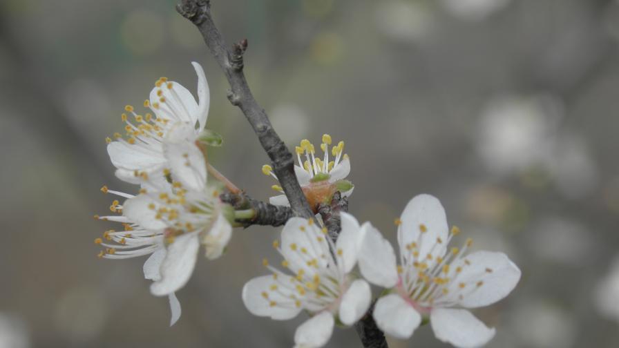 Ябълките в община Невестино цъфнаха