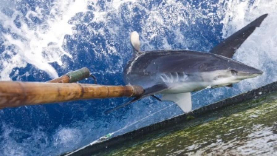 Албанци уловиха 400-килограмова акула