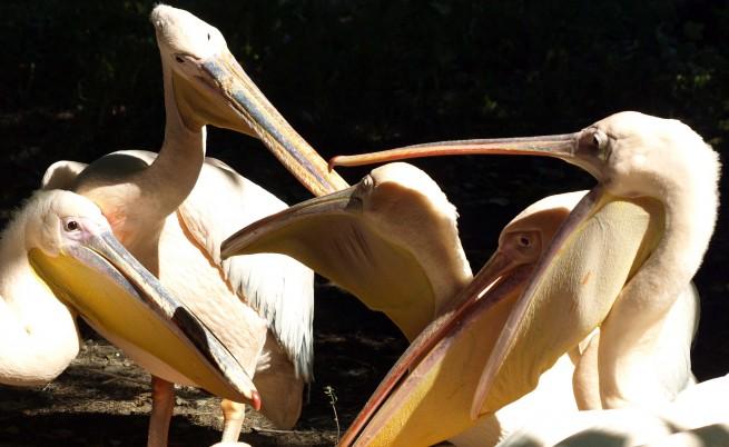 Правят място за повече пеликани по Дунав