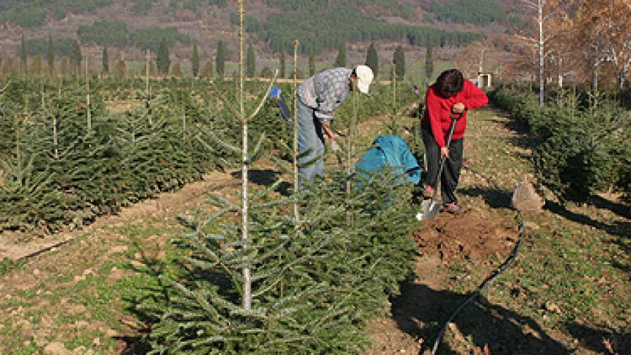 Доставят над 150 хил. дръвчета на пазара за Коледа