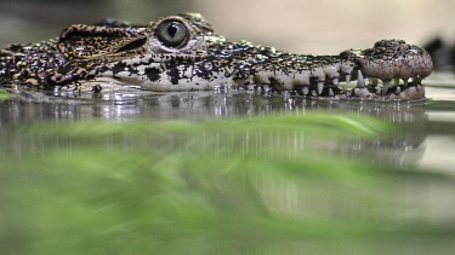 Папата се срещна с крокодил
