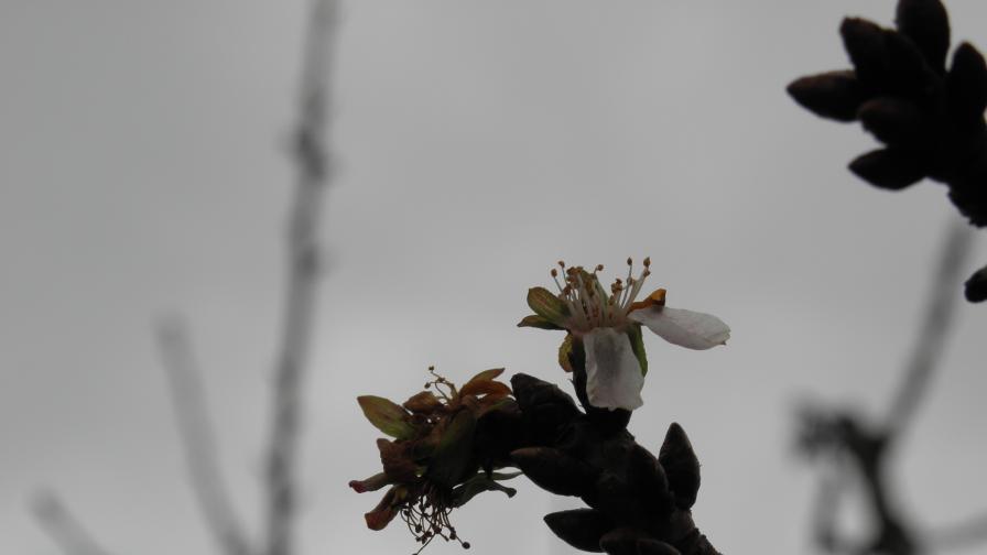 Ябълковите дръвчета най-издръжливи на студ - до минус 40 градуса