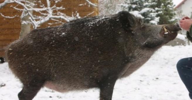 България Трябва да бъдат заклани всички домашни прасета в област