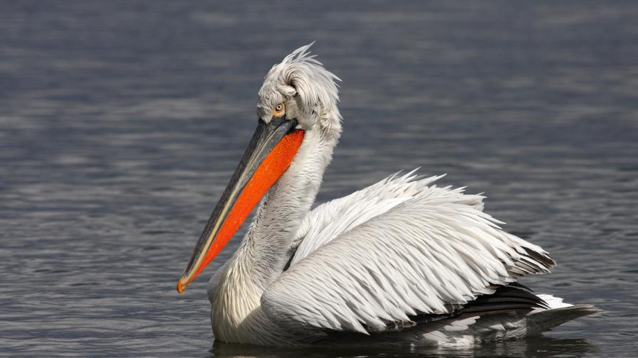 """60 двойки пеликани са се заселили в резервата """"Сребърна"""""""